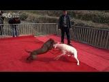 Собачьи бои питбуль vs аргентинский дог