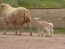 Les animaux de la ferme _ le mouton