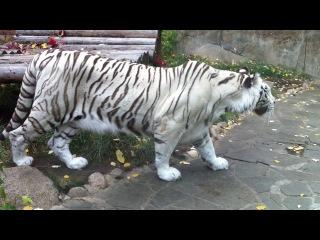 Бенгальский тигр нападает на посетителя зоопарка