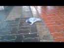 Борзый голубь на Динамо