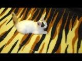 мурка-кошка