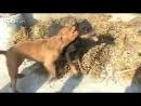 Собачьи бои питбуль vs ротвейлер
