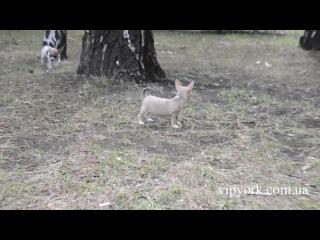 Мини щеночки чихуахуа на прогулке