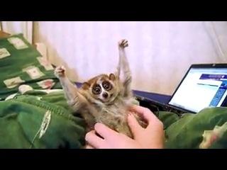 приколы про животных Лемуры - самые милые животные в мире! Кот красиво ушёл милые животные прикол юмор студентов комедия 201