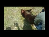 Pakistani Tazi Hound Hunting Wild Boar