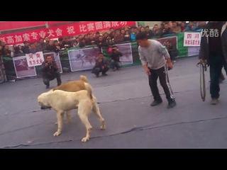 Собачьи бои китайские ТИ