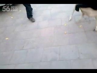 Собачьи бои аргентинский дог vs кане-корсо