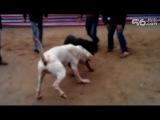 Собачьи бои аргентинский дог vs ротвейлер