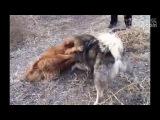 Собачьи бои тибетский мастифф vs кавказская овчарка