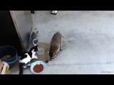 Sneaky Raccoon steals cat food in human like fashion