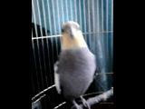 Говорящий попугай Тоша