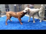 Собачьи бои сао алабай vs тоса-ину