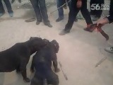 Собачьи бои питбуль vs бандог 5