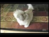 Смешное видео собака орет, как человек