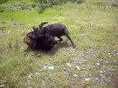 Собачьи бои булли кутта VS тибетский мастиф тест молодняка