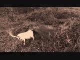 Рабочие собаки аргентинский дог и кабан