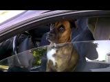 Собака за рулем[1]