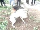 Собачьи немецкая овчарка vs сао алабай