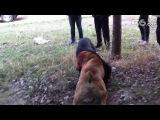 Собачьи бои сао алабай vs питбуль/кане-корсо