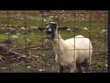 Goat remix; орущий козел .