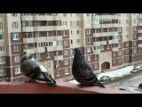 «Любовь и Голуби» под музыку Бандера Андрей  - тише люди ради Бога тише голуби целуются на крыше Picrolla.mp4