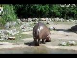 Как пердят бегемоты ;))