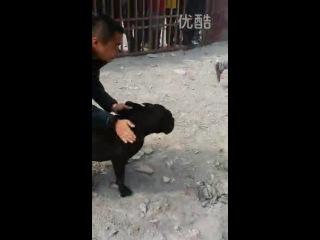Собачьи бои кане-корсо vs питбуль