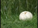 Оршанец нашел гриб весом в 3 килограмма. 4-09-14