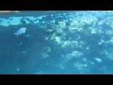 Рыба-Наполеон и много-много других рыб под нашим пирсом.