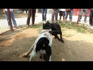 Собачьи бои кане-корсо vs сао алабай