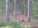 Косули.Снял видео на загонной охоте на кабана.