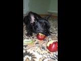 Наконец, поняла кто ворует яблоки!!! Очень смешной пёс!!!