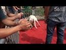 Собачьи бои бульмастиф vs аргентинский дог