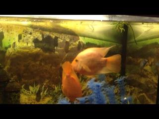 мои рыбы-попугаи целуются