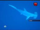 Пьяный серб убил акулу ЖОПОЙ
