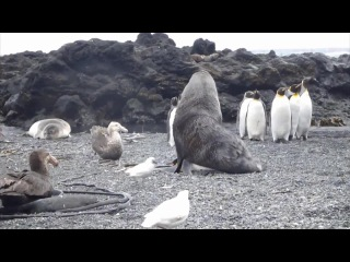 Antarctic fur seal sexually coerces king penguin Как тюлень любил пингвина45 мин