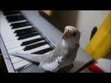 Попугай корелла напевает мелодию из аниме