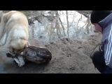 Собачьи бои питбуль vs сао алабай