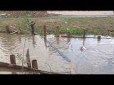 Настырная собака пытается поймать утку в Одинцово