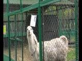 Безжалостное нападение человека на ламу