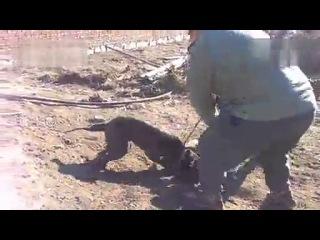 Собачьи бои питбуль vs кане корсо