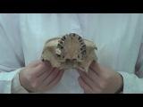 Анатомия. Крыловидно-небная ямка