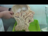 Анатомия. Глотка (на препарате сагиттального распила головы). Pharynx