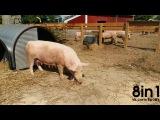 Свинья жрёт своего мёртвого поросёнка  Graphic Pig eats baby pig