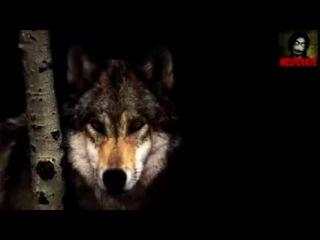 волк отомстил но отомстил без крови...