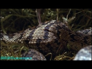 BBC: Жизнь с холодной кровью. 4-я серия. Удивительные змеи.