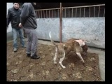 Собачьи бои американский бульдог Текилла vs питбуль Тайсон тест