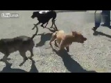 Собачьи бои немецкий дог vs питбуль (бывает и такое) 1