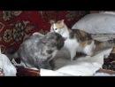 Даша против Люси (мои кошки)