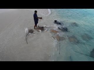 Stingrays feeding. Maldives Islands, Reethi Beach Resort.